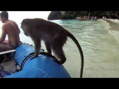 Funny Gifs Animal Gifs Videos and Clips: Monkeys enjoy on the beach like humans and ride on...