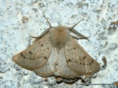 Dyscia (Rjabovana) lentiscaria (Donzel, 1837)