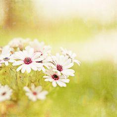 Yellow Canvas Photography daisies white flower by CarolynCochrane