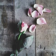 Pink roses | syafiq_zainal | VSCO