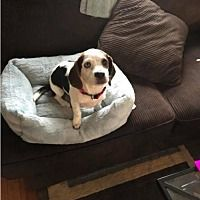 Pictures of Amanda a Beagle for adoption in New York, NY who needs a loving home.