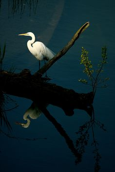 The great egret is a large, white wading bird with long, lacy plumes on the back. It visits the #Chesapeake Bay region's marshes and wetlands from spring through autumn.