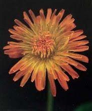 アルバム アーカイブ - Taraxacum porphyranthum