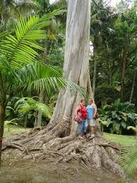 """Képtalálat a következőre: """"eukaliptusz fa"""""""