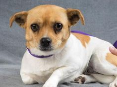 06/21/2016 Adopt dog Chips, a lovely 1 year small female Dog available for adoption at Petango.com. Chips is a Chihuahua, Short Coat / Terrier, Yorkshire mix breed dog and is available at the National Mill Dog Rescue in Colorado Springs, I am friendly, playful and easy-going with people and dogs alike. I am sweet, curious and LOVE exploring. I enjoy being with people and actively seek out attention. Co. www.milldogrescue
