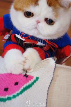 红小胖 Snoopybabe (Snoopy the cat) Funny Cats And Dogs, Cute Cats And Kittens, Cool Cats, Kittens Cutest, Pretty Cats, Beautiful Cats, Snoopy Cat, Exotic Cats, Exotic Shorthair