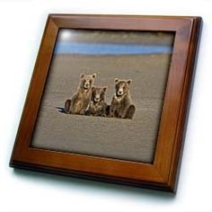 """Alaska, Brown Bears, Salmon Creek, Lake Clark - US02 RBE0092 - Ralph H. Bendjebar - 8x8 Framed Tile by 3dRose. $22.99. Solid wood frame. Keyhole in the back of frame allows for easy hanging.. Dimensions: 8"""" H x 8"""" W x 1/2"""" D. Cherry Finish. Inset high gloss 6"""" x 6"""" ceramic tile.. Alaska, Brown Bears, Salmon Creek, Lake Clark - US02 RBE0092 - Ralph H. Bendjebar Framed Tile is 8"""" x 8"""" with a 6"""" x 6"""" high gloss inset ceramic tile, surrounded by a solid wood frame ..."""