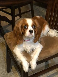 The many things I admire about the Smart Cavalier King Charles Spaniel Pups Cavalier King Spaniel, Spaniel Dog, King Charles Spaniel, Cavalier King Charles, Spaniels, Spaniel Puppies For Sale, Cute Puppies, Dogs And Puppies, Doggies