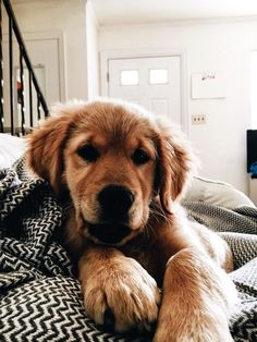 Astonishing Everything You Ever Wanted to Know about Golden Retrievers Ideas. Glorious Everything You Ever Wanted to Know about Golden Retrievers Ideas. Cute Puppies, Cute Dogs, Dogs And Puppies, Doggies, Corgi Puppies, Animals And Pets, Baby Animals, Cute Animals, Cute Creatures