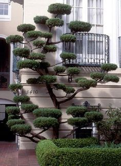 Some wonderful 'cloud pruning'. Cloud Pruning (Niwaki) is pruning limbs in such a way as to create space between them and flatten the top and bottom. It can be a solution for a small area. Topiary Garden, Garden Art, Garden Plants, Topiary Trees, Jardim Zen Interior, Trees And Shrubs, Trees To Plant, Cloud Pruning, Jardin Decor