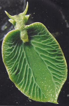 Astonishing, half-animal, half-plant - Elysia chlorotica, a bright green, solar-powered, algae-slurping sea slug - green, ocean, sea, nature, photography