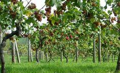 Oatley Vineyard, Somerset, UK. Kernling grapes at harvest, Oct 2011
