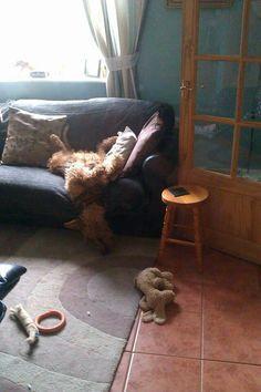 Airedale Sleep Position #427