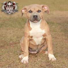 My wife has been asking me if we could get a dog. Her birthday is coming and I want to surprise her by getting her a puppy. Her favorite kind of dog is a pitbulls. She likes the lighter color pitbulls like this one in the picture.