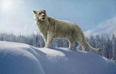 Panthera Leo Spelaea or Eurasian Lion