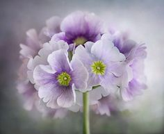 Primulas | Flickr - Photo Sharing!