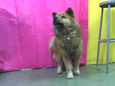 A537408 URGENT DEVORE is an adoptable Chow Chow Dog in San Bernardino, CA. **WE NEED VOLUNTEERS TO POST & REMOVE PETS ON PETFINDER. IF YOU CAN COMMIT TO THE CAUSE OF HELPING SAVE SHELTER ANIMALS, PLEA...