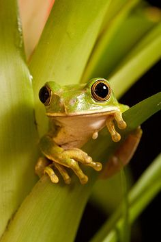 Tree frog and live with them everywhere. Awesome frogs.