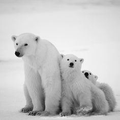 Happy #InternationalPolarBearDay! What's a better way to celebrate these beloved Arctic dwellers than by taking a stand to support them? Click the link in our bio NOW to become a 2017 Oceana member. Photo: Shutterstock / Sergey Uryadnikov