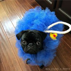 Cutest Halloween outfit ever! Photo by @da_frank_n_beans Want to be featured on our Instagram? Tag your photos with #thepugdiary for your chance to be featured.