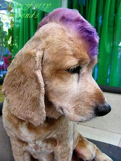 Pet Grooming: The Good, The Bad, & The Furry: Mohawk (I think Gordon should go like this for halloween) I Love Dogs, Cute Dogs, Creative Grooming, Dog Haircuts, Crazy Hair Days, Hair Chalk, Cat Grooming, Grooming Salon, Goldendoodle Grooming