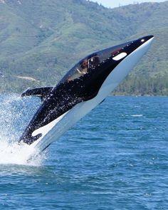 Extravagant Toy: The Seabreacher, part jet ski, part submarine, part dolphin. Price Tag: €40,000 #ExtravagantLifeInc