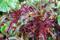 RED SPIDER Croton  https://www.houseplant411.com/houseplant/croton-how-to-grow-care-for-croton-plant