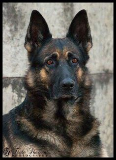 What a beautiful sable German shepherd