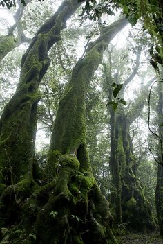 """These Antarctic Beech Trees (Nothofagus moorei) cast ghostly figures  in the Springbrook mist. Qld, 2008."" via Flickr Flackr"