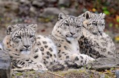 family of snow leopards. loved them ever since i did a report of them in the 2nd grade.