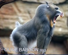 Baboon Vs Gorilla Related Keywords & Suggestions - Baboon Vs ...