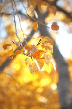 golden leaves of autumn