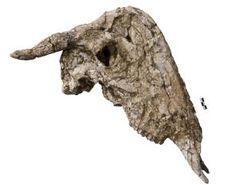The dome shaped skull (raised nasal bones). Rusingoryx atopocranion fossil material.