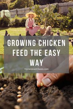 Are you planning on growing chicken feed free from GMO? Here are some practical ways you have to follow to produce them.