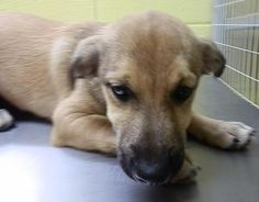 Button (STRAY) is an adoptable Shepherd Dog in Cookeville, TN.  ...