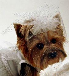 Pretty Yorkie bride