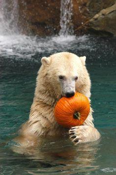 A big polar bear takes a big-boy bite out of a pumpkin tossed into his pool at the Cincinnati Zoo. Beautiful Creatures, Animals Beautiful, Zoo Animals, Cute Animals, Wild Animals, Cincinnati Zoo, Love Bear, Animal Photography, Pet Birds