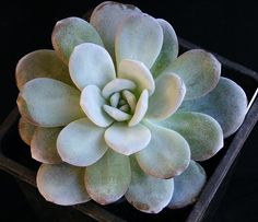 Echeveria laui - photo by Banu on Flickr