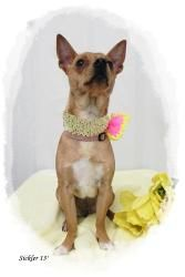 Ginger is an adoptable Chihuahua Dog in Emporia, KS.  .Really sweet girl that will dance for you. Loves to be held and sit on your lap. ADOPTED!!