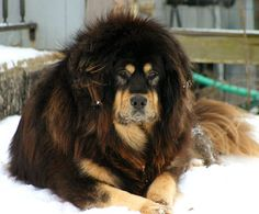 Tibetan Mastiff!  Like fluffy st. bernard  giant rottweilers I must have one!
