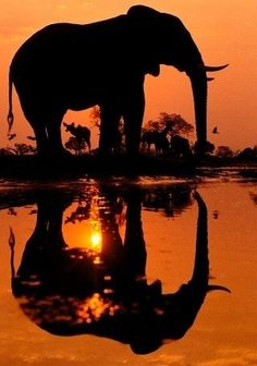 Elephant against a beautiful sunset in Africa