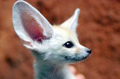 The Ultimate Collection of Baby Fennec Fox Pictures Fox Pictures, Fennec Fox, Cute Fox, Wild Dogs, Animals Of The World, Exotic Pets, Exotic Animals, Cute Baby Animals, Spirit Animal