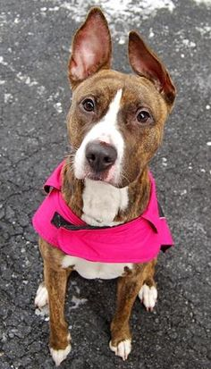 Manhattan Center   THUNDER - A1026190   FEMALE, BR BRINDLE / WHITE, AM PIT BULL TER MIX, 2 yrs STRAY - STRAY WAIT, NO HOLD Reason STRAY  Intake condition UNSPECIFIE Intake Date 01/23/2015 https://www.facebook.com/photo.php?fbid=951377614875118