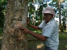 "Capitão Ciríaco Urban Park - the ""seringueiro"" Aldenor Costa is responsible for 360 rubber trees of the park."