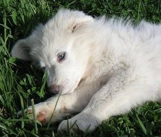 GREAT PRYNESS DOG PHOTO   McComb the Great Pyrenees   Puppies   Daily Puppy