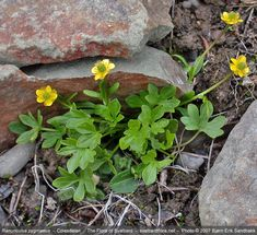Ranunculus, Herbs, Google, Plants, Image, Persian Buttercup, Herb, Plant, Planets