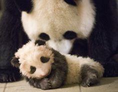 Lundi 4 décembre, cérémonie du nom du bébé panda au ZooParc de Beauval!