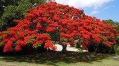 Free photo: Flowering Tree, Poinsiana, Bermuda - Free Image on ...