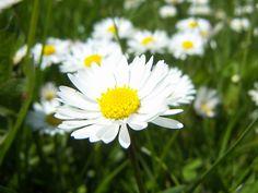 Sedmikráska chudobka - Bellis perennis - hvězdnicovité Bellis Perennis, Weed, Herbalism, Flowers, Plants, Roses, Daisy, Flora, Plant