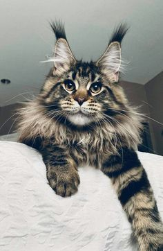 Interested in owning a Maine Coon cat and want to know more about them? The Maine Coon kitten adoption will Pretty Cats, Beautiful Cats, Animals Beautiful, Cute Animals, Gato Animal, Maine Coon Kittens, Ragdoll Kittens, Bengal Cats, Winter Cat